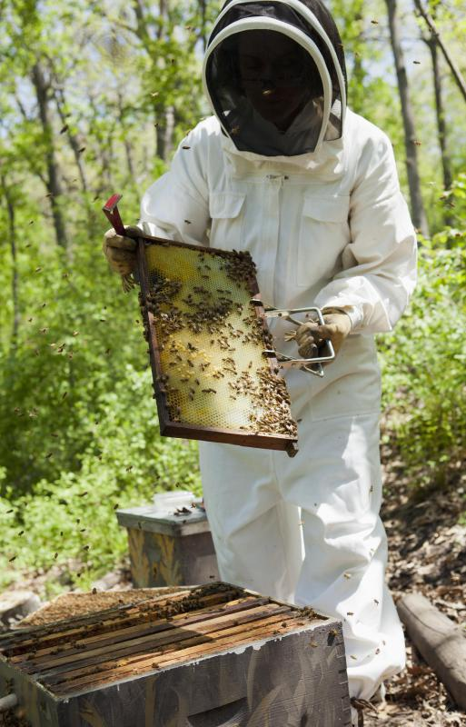 Beekeepers must clean the comb for tupelo honey when the tree is in bloom.