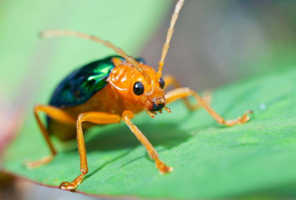 Bombardier beetle defense - photo#22