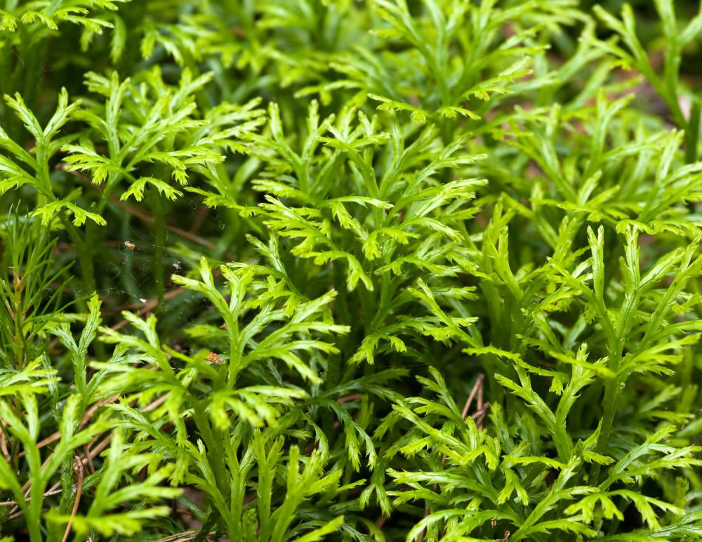 3 important uses of lycopodium spore powder