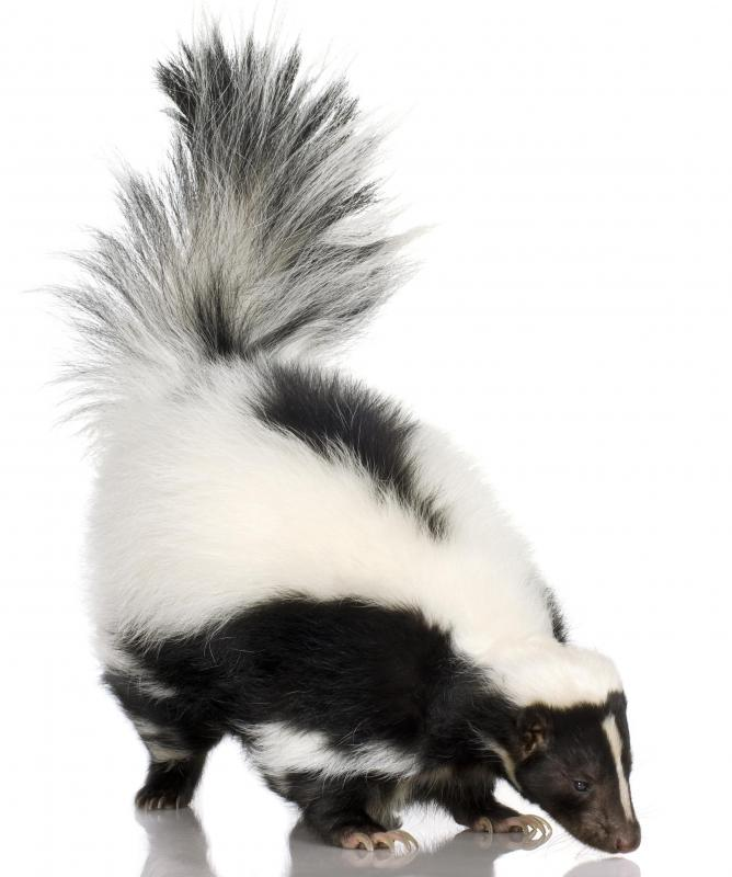 bleach may be necessary to get rid of the smell of skunk spray on