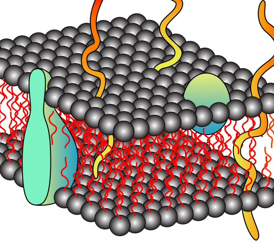 the history of the cell membrane Biology 2 quiz name _____ cell structure and membrane transport multiple choice (1-15) identify the letter of the choice that best.