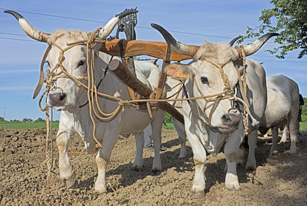 Draft cattle are bread for working by pulling plows and other farm equipment.