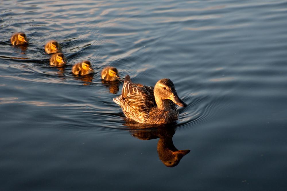 ducks swimming on the - photo #42