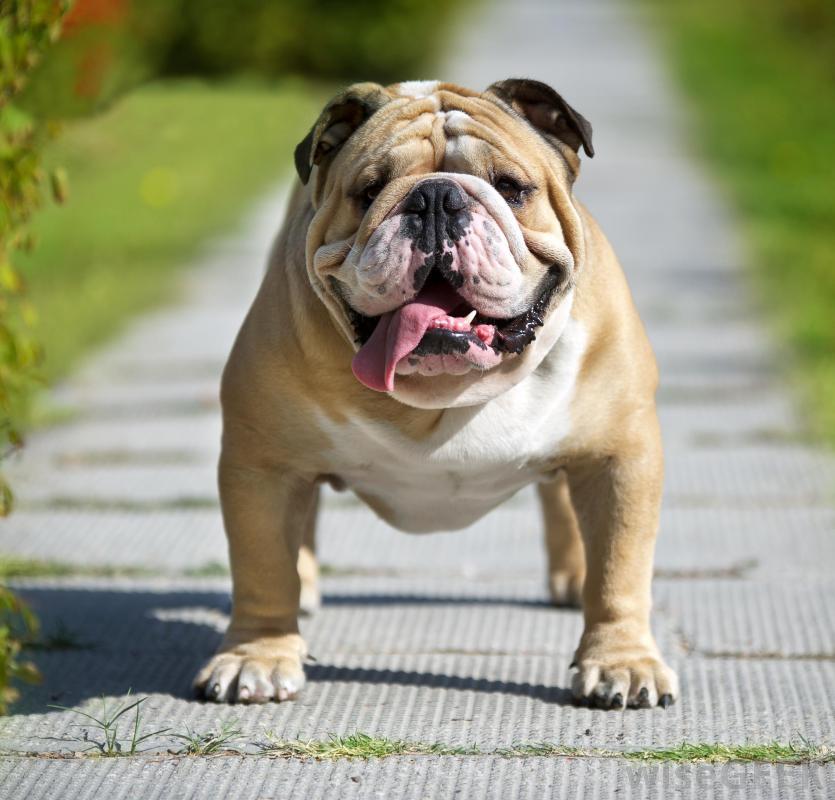 The English Bulldog is a contributor to the Victorian Bulldog's ...