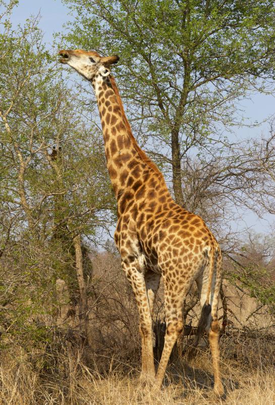 картинка жирафа в хорошем качестве