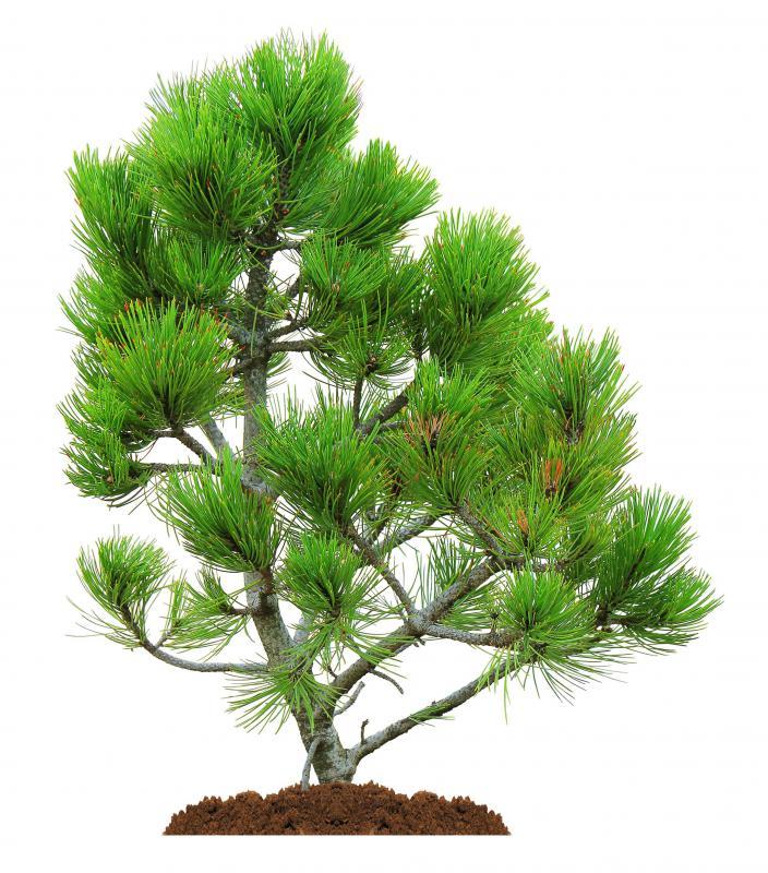 Conifers Plant