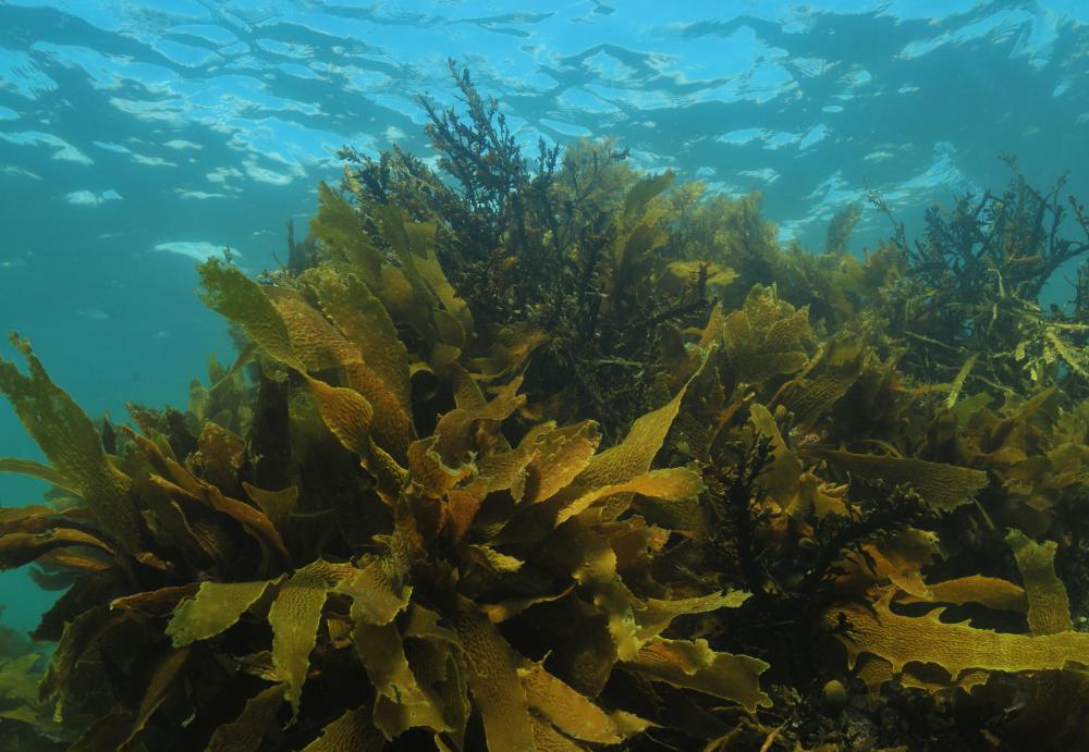 live kelp underwater