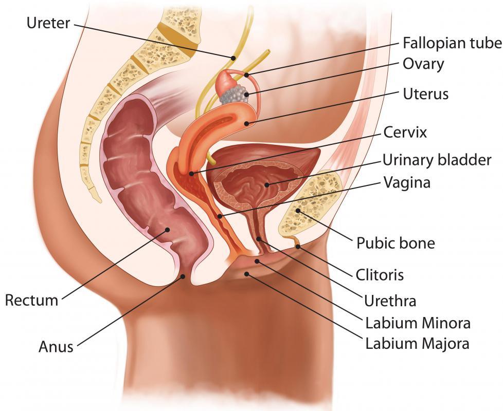 Uterus Anatomy Ligaments What Are the Different Uterus