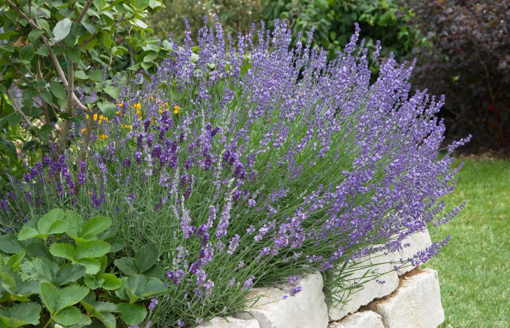 Lupine | plant | britannica. Com.