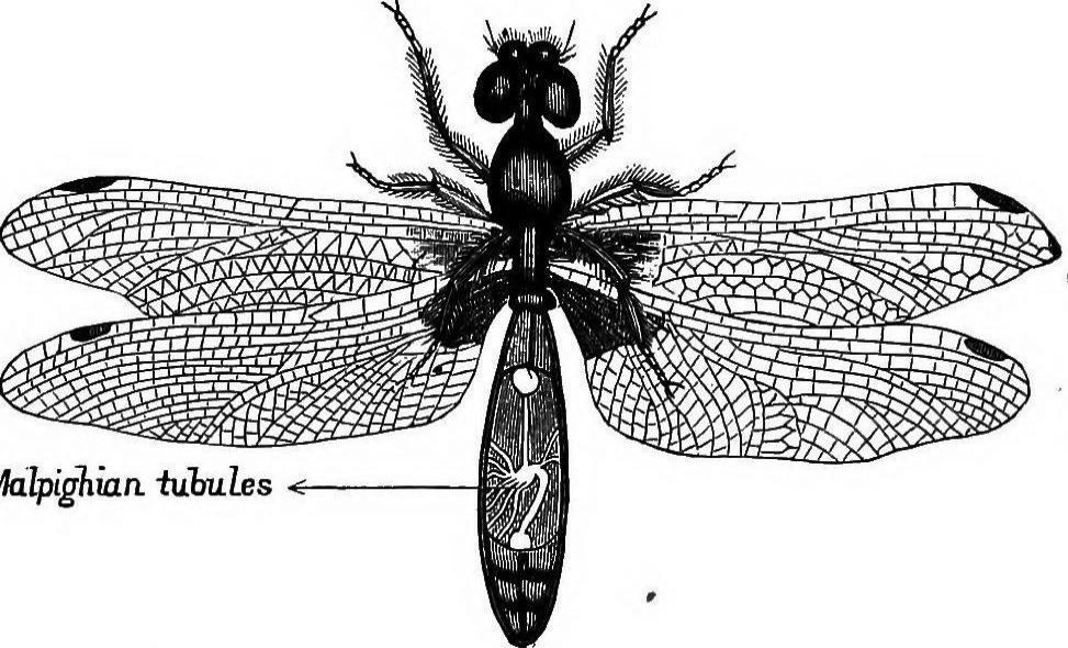 Grasshopper Malpighian Tubules | www.imgkid.com - The ...