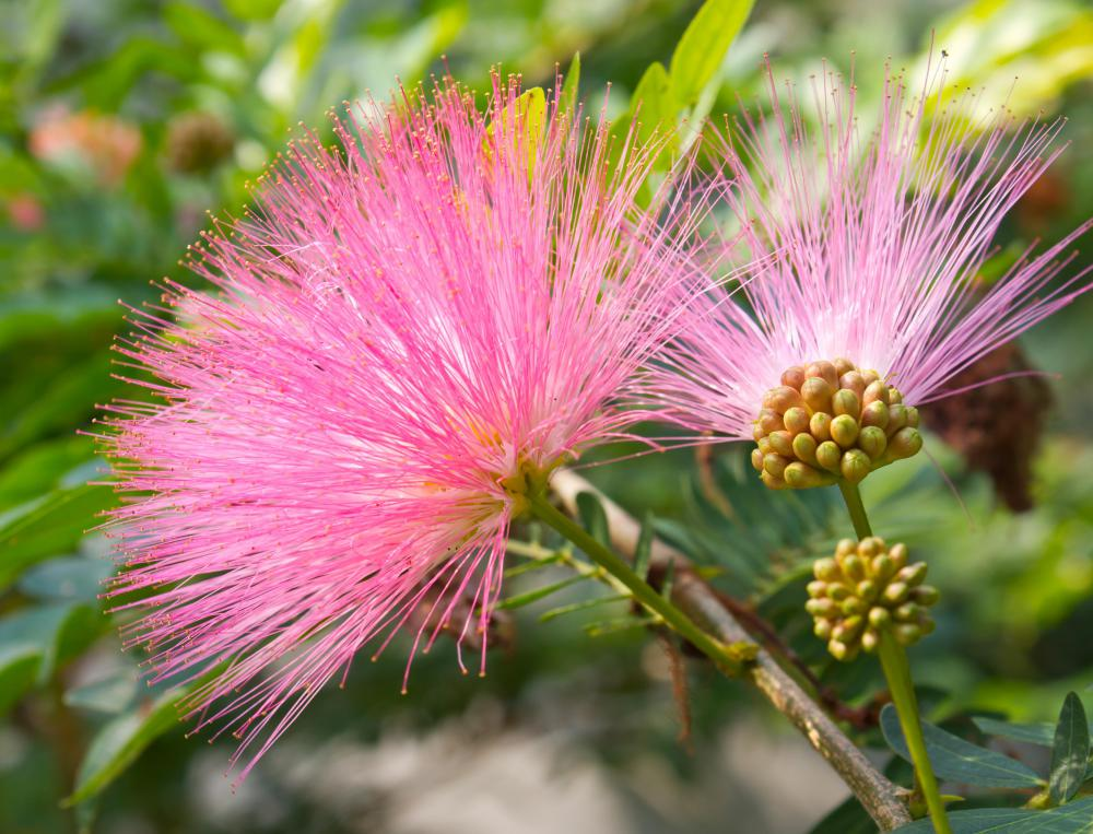 What are the medical uses of the sensitive plant known as the sensitive plant mimosa pudica has several uses in alternative medicine mightylinksfo