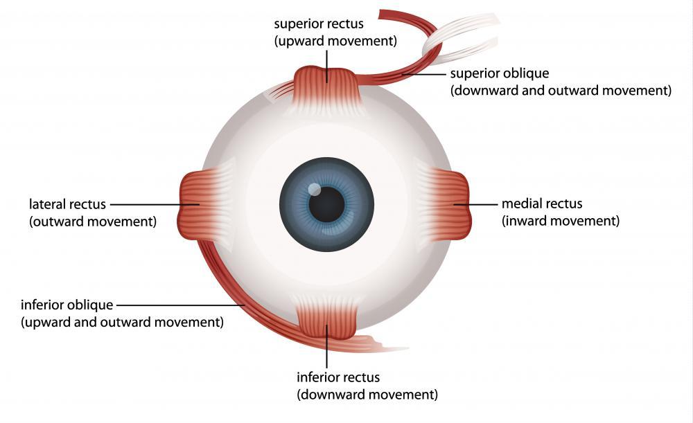Human Eye Muscle – craftbrewswag.info