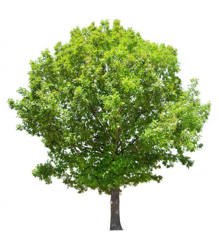 Zeus Oak Tree Oak tree...