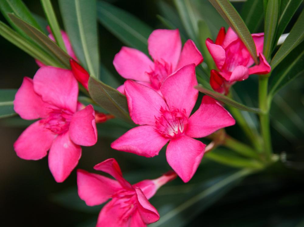 What are the different types of poisonous flowers oleanders are beautiful but toxic mightylinksfo Images