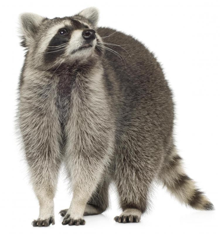Raccoons are susceptible to distemper.