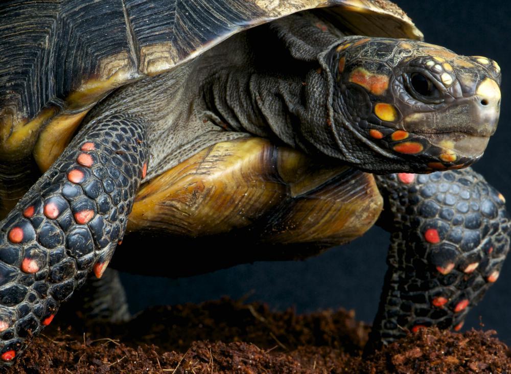 Types of Pet Tortoises...