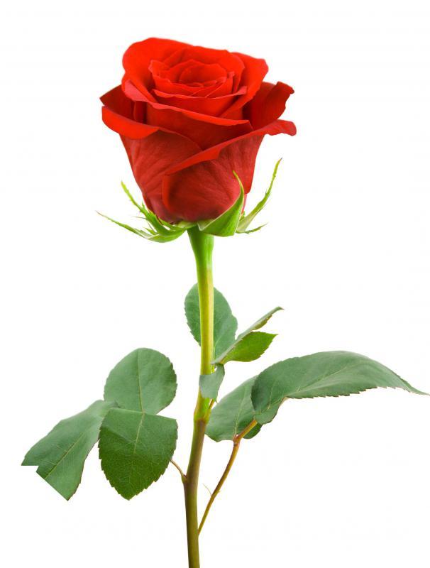 red rose - Lovly Red Rose