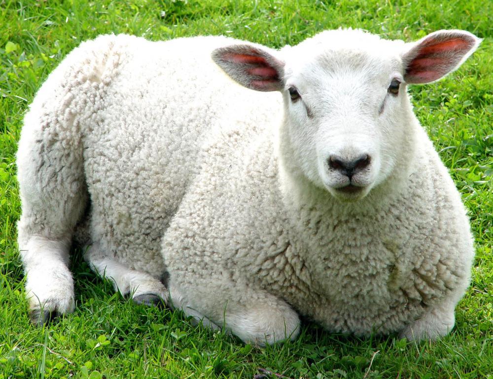 White sheep - photo#28