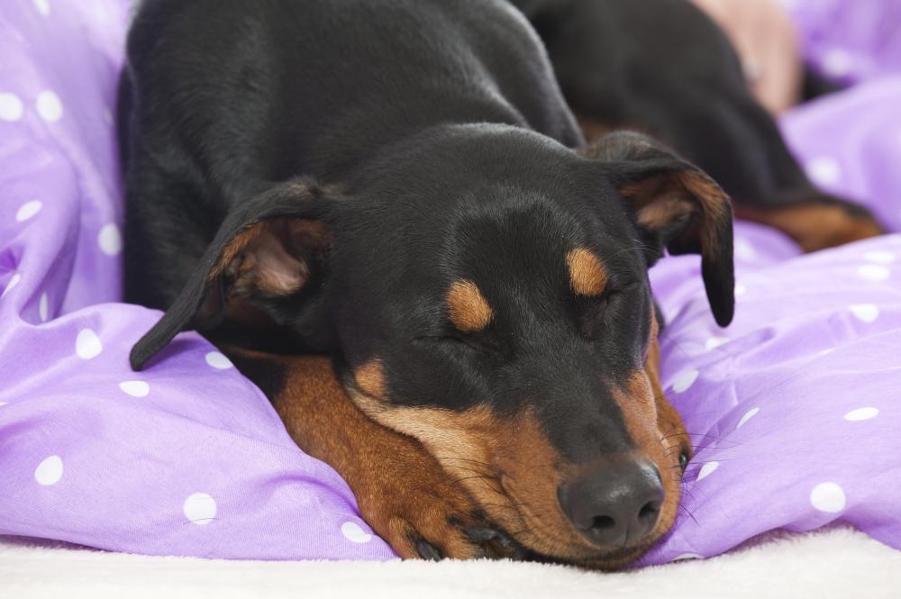 dexamethasone for dogs