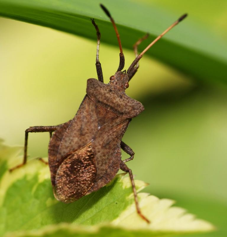 What Is The Best Way To Control Stink Bugs With Pictures