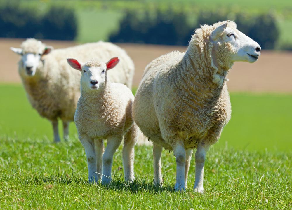 Three sheep - photo#18