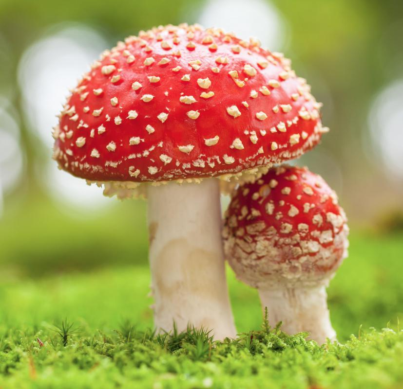 treat mushroom poisoning in dogs
