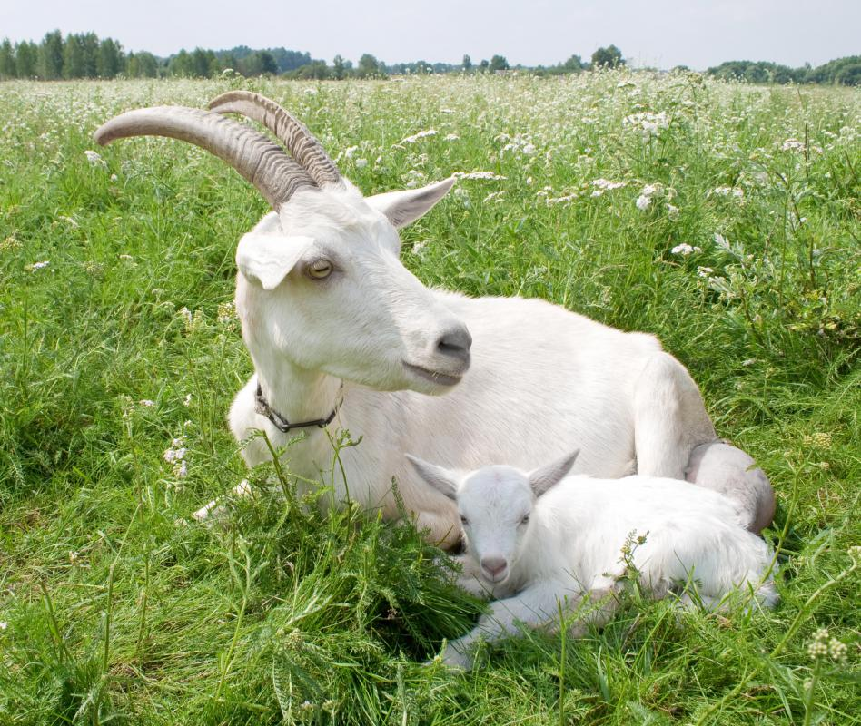 How do I Treat Common Goat Diseases? (with pictures)