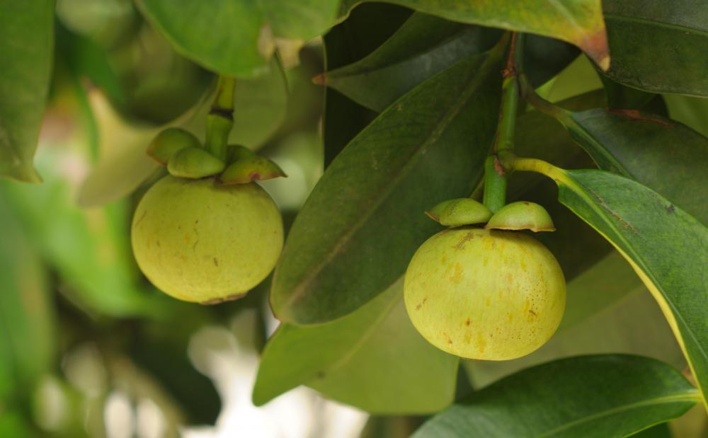Unripe fruit growing on a garcinia cambogia tree