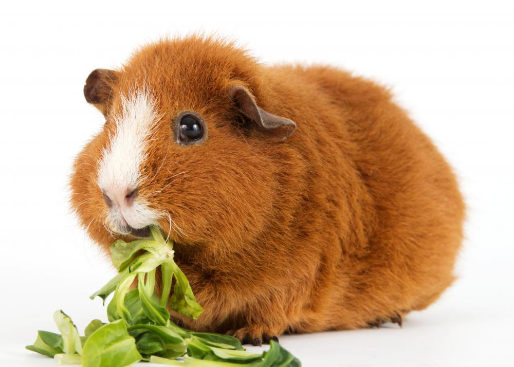 http://images.wisegeek.com/vegan-guinea-pig.jpg
