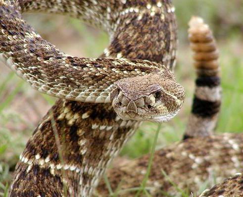 Western diamondback rattlesnake venom - photo#20