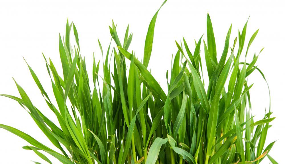 Wheatgrass  Wikipedia