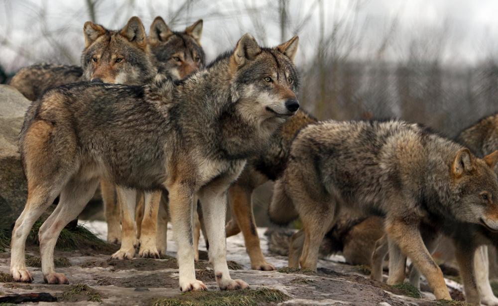 Distemper can affect wolves.