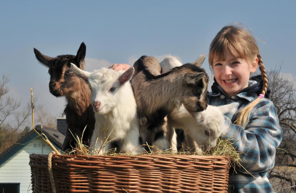 R Goats Good Pets Do Goats Make Good Pets
