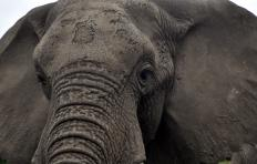 The African elephant is one of the draws of the Timbavati Game Reserve.