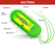 Both Gram-positive and Gram-negative bacteria produce exotoxins.