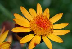 Arnica blossoms are normally used in arnica tincture, although sometimes the leaves, stems, and roots are used also.