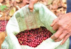 Freshly picked coffee beans.