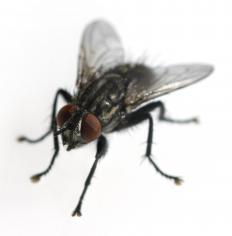 A house fly.