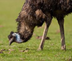 Emu oil contains many fatty acids and antioxidants.