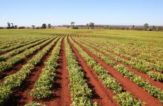 Legumes help enrich soil by adding nitrogen.