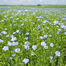 A field of blooming flax plants.