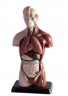 The torso houses many of the body's organs.