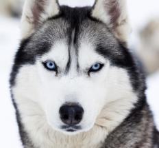 Domestic dogs are all of the subspecies Canis lupus familiaris.