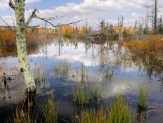 Sedge is often found in wetlands and marshes.