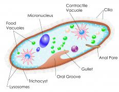 Paramecium contain several basic structures, like vacuoles and a micronucleus.