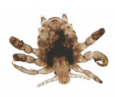 A pubic louse.