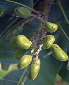 Semecarpus anacardium has many medicinal benefits.
