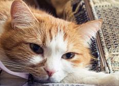 Depression is one symptom of feline distemper.