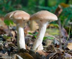 Kojic acid was discovered in mushrooms in Japan in 1989.