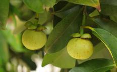 Unripe fruit growing on a mangosteen tree.